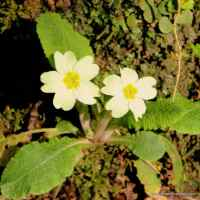 Irish Primrose Superstitions And Lore