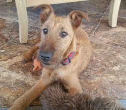 Impeccable Help Him Be All He Can If Help Yourself Your Please Complete Our Jigs Iowa Adopted Irish Terrier Rescue Network He Needs A Family Who Will Train See Him