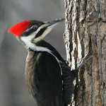 woodpeckers_world_suleman