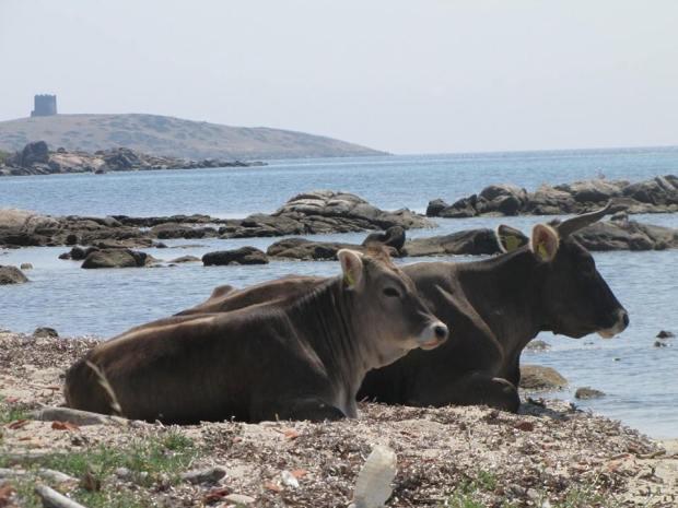 Bovina con prole in spiaggia. (Foto A.Canu)
