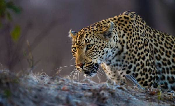 leopard photography