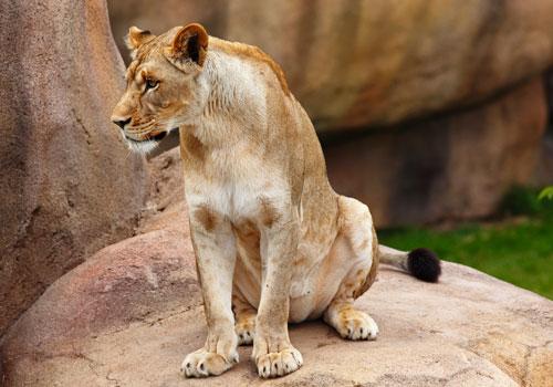 Graceful Female Lion