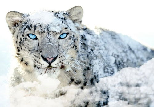 Blue Eyed Lion Wallpaper