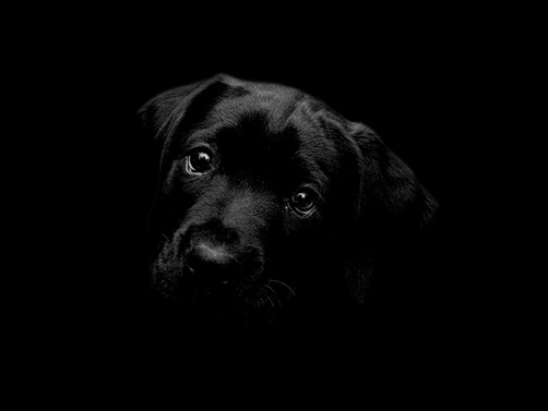 Black-Labrador-Wallpaper-black-wallpaper