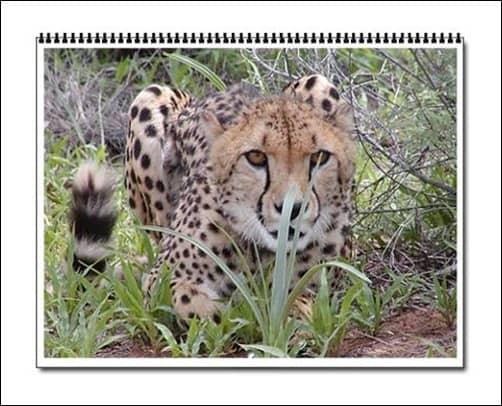 Cheetah-Wall-Calendar-for-2013