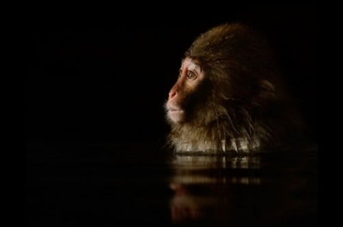 Primate-Reflections-black-wallpaper