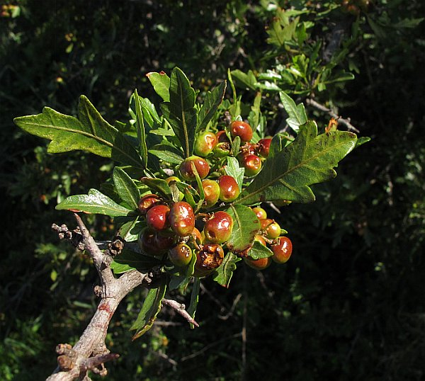 Rhus Tripartita- Og