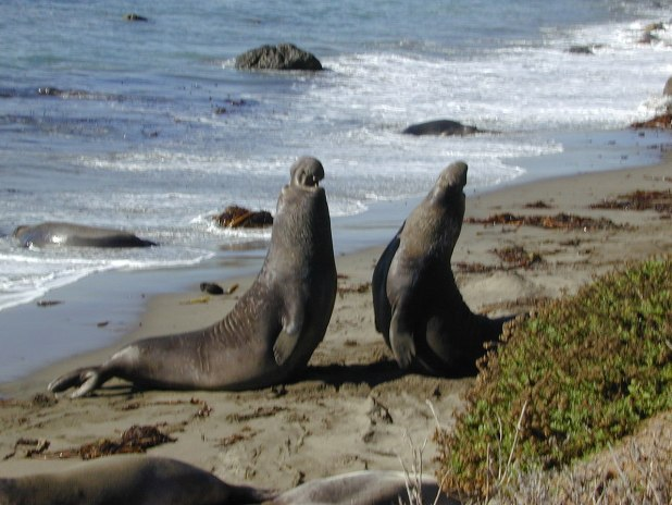 Two Elephant seals at Point Piedras Blancas, California. Taken by Candied Woman Ire