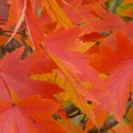 Blazing Fiery Colored Maple Leaves