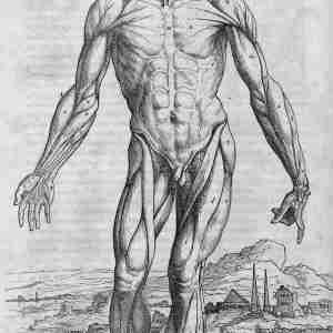 Illustration from De Humani Corporis Fabrica by Andreas Vesalius