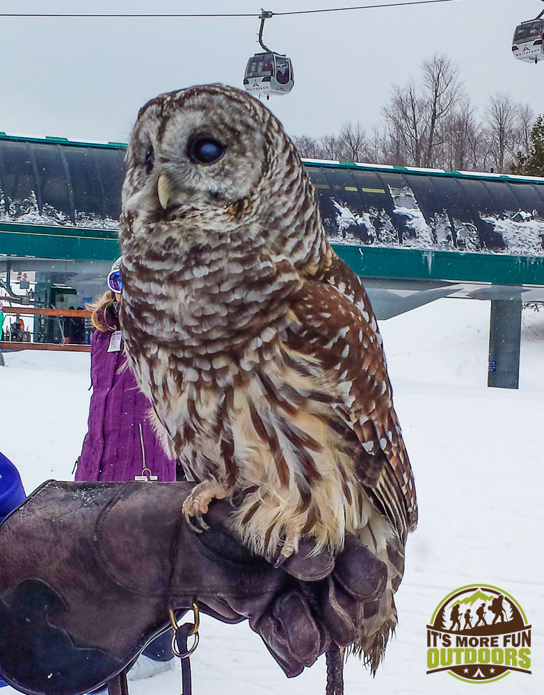 2.14.15: Barred Owl, she is blind in one eye and unable to hunt on her own, so she will be a lifelong resident at the Adirondack Wildlife Refuge. Whiteface Mountain Olympic Ski Center - the good folks from the Adirondack Wildlife refuge were there to educate people about native wildlife and the impact of human presence in their habitats.