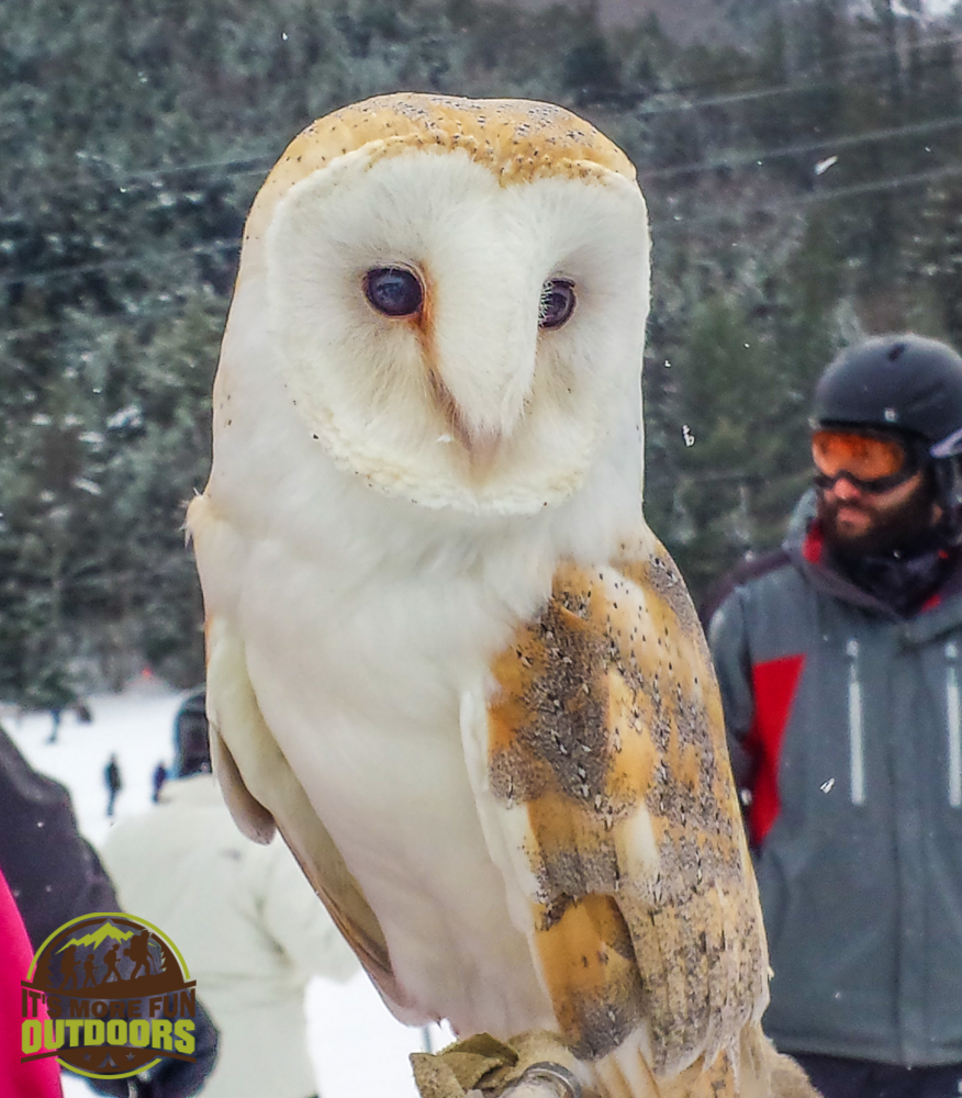 2.14.15: Barn Owl. Whiteface Mountain Olympic Ski Center - the good folks from the Adirondack Wildlife refuge were there to educate people about native wildlife and the impact of human presence in their habitats.