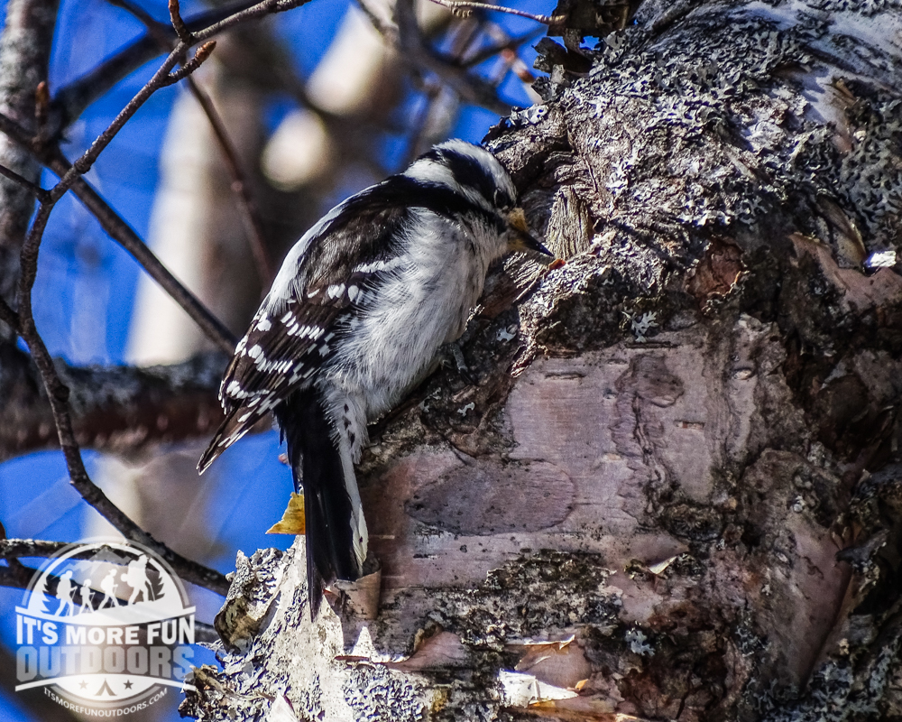 Downy Woodpecker enjoying the summit sunshine! 3/19/2016: Winter hike-Azure Mountain Fire Tower, Debar Mountain Wild Forest, Adirondacks