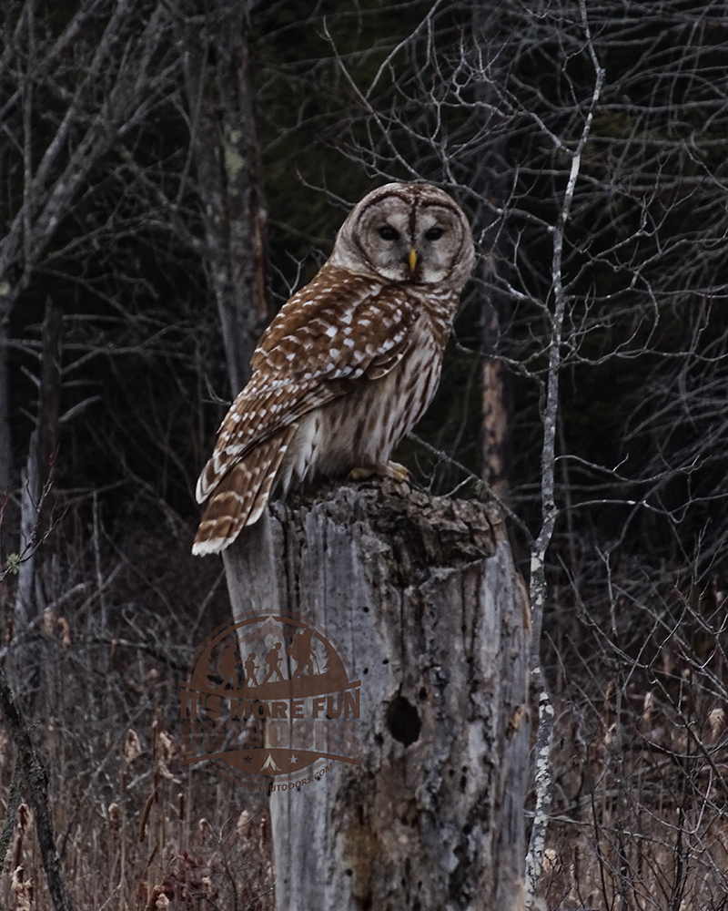 A beautiful Barred Owl we saw on the drive up! So exciting! 2/6/2016: Kane Mountain Winter Fire Tower Challenge Hike!