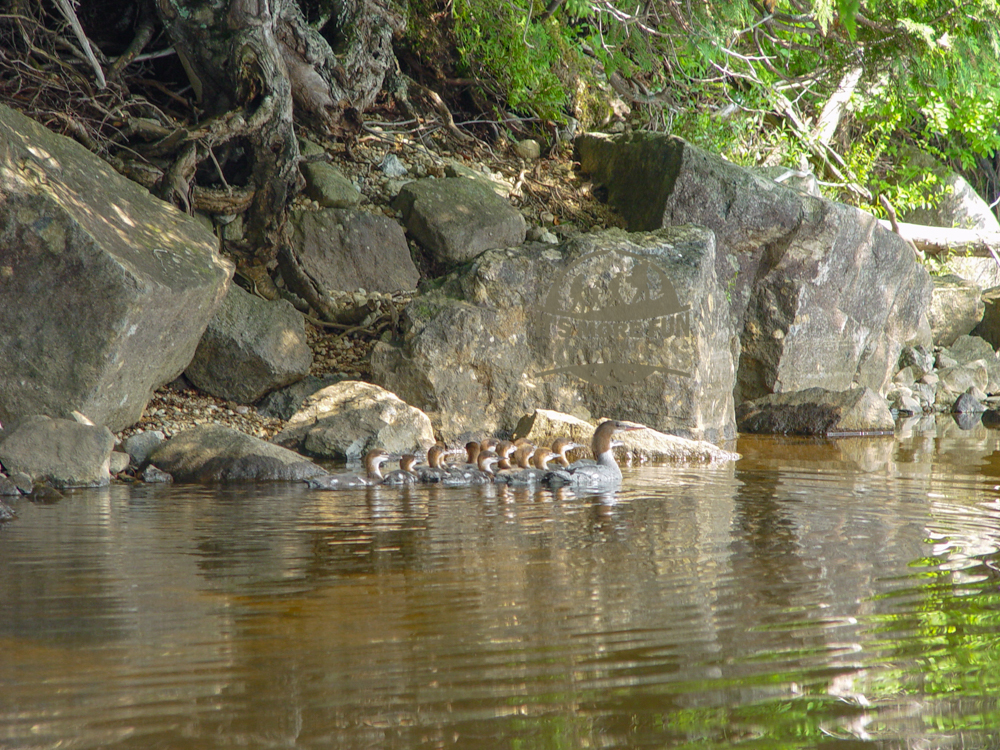 That's a lot of babies! The Common Merganser hen and her chicks blend in with the rocky shoreline really well! Henderson Lake Kayak Camping, Tahawus Hike!