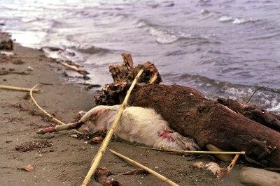 Dead Sheep by the Beach