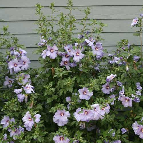 Medium Crop Of Rose Of Sharon Hibiscus