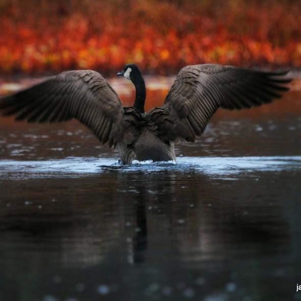 Goose in November