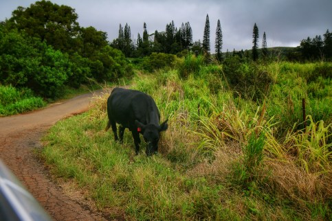 It just wouldn't be a Maui adventure without a random cow.