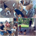 Travis has found his new home where he has 2 male Beagle brothers and 1 female Beagle sister! ? The first meeting went fine and its seems that they are going to be 1 happy, Beagle family! Thank you Kevin and family for giving Travis a second chance in life!