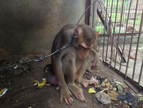 Depressed, alone & chained. As if the small cage wasn't enough.