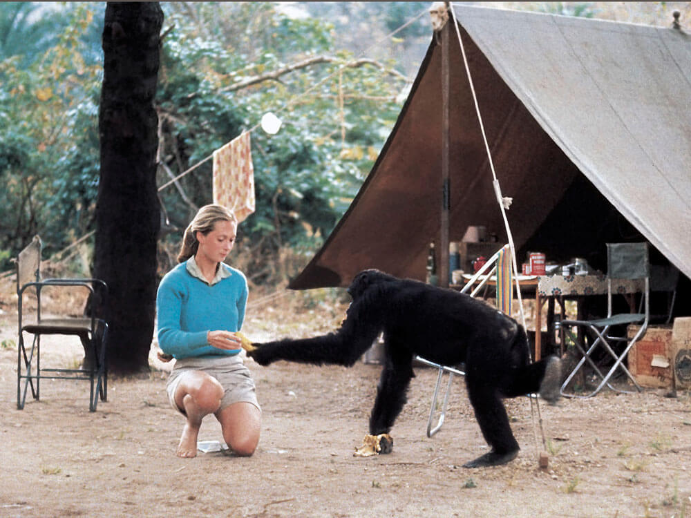 jane goodall and her research on chimpanzees The gombe stream research centre was founded in 1965 to advance jane goodall's revolutionary findings about chimpanzee tool making and other behaviours.