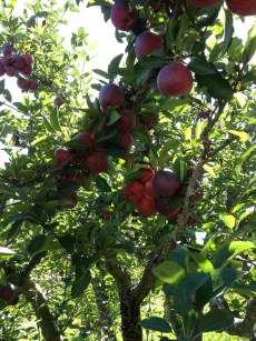red_apples.1600