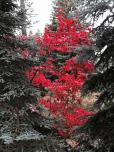 Japanese_Maple-fall_color.1280