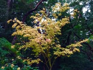 Japanese_Maple_Sango-Kaku_fall_color.1600