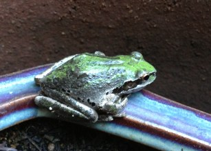 Pacific tree_frog_on_pot