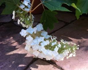 hydrangea_quercifolia_bloom