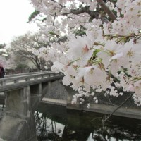 It's hanami time! Cherry blossom season in Osaka, Kyoto and Kobe.