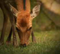La-berrea-de-los-ciervos