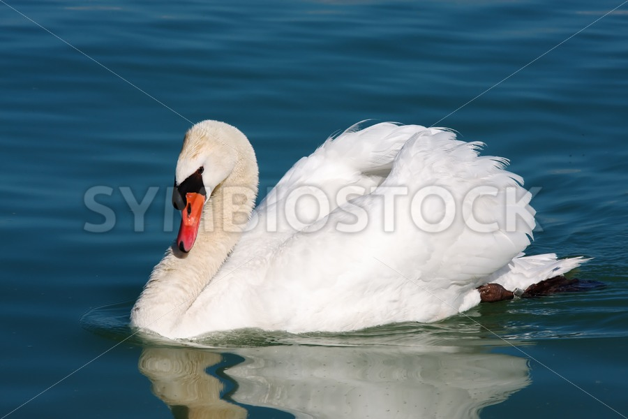 Beautiful swan - Jan Brons Stock Images