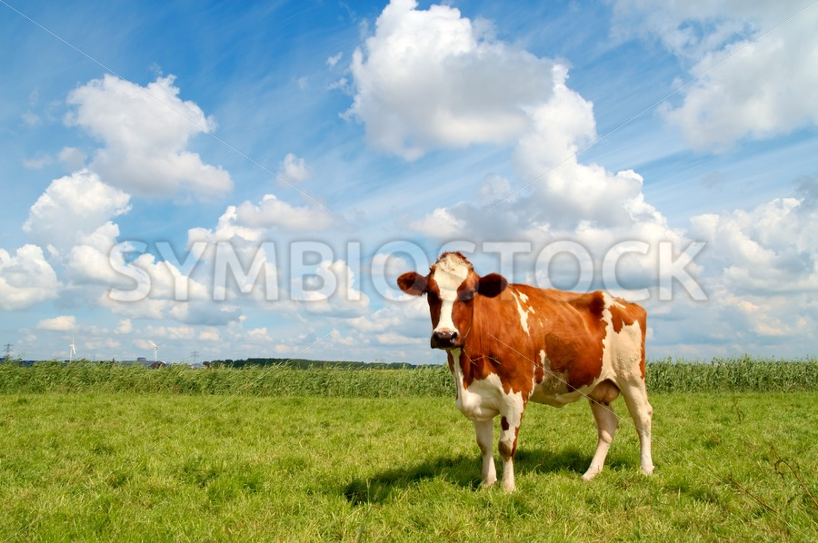 Curious cow standing on meadow - Jan Brons Stock Images