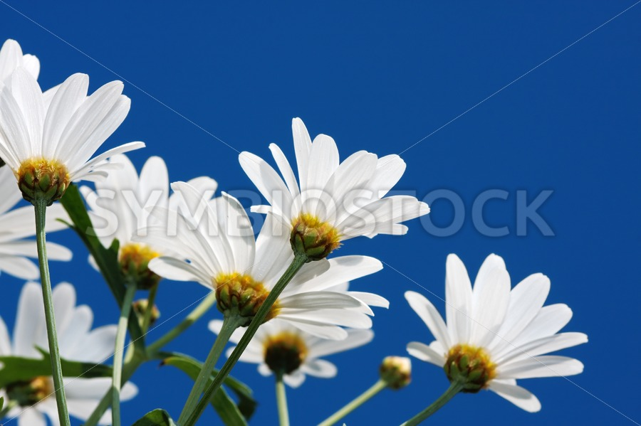 Daisy looking nice. - Jan Brons Stock Images