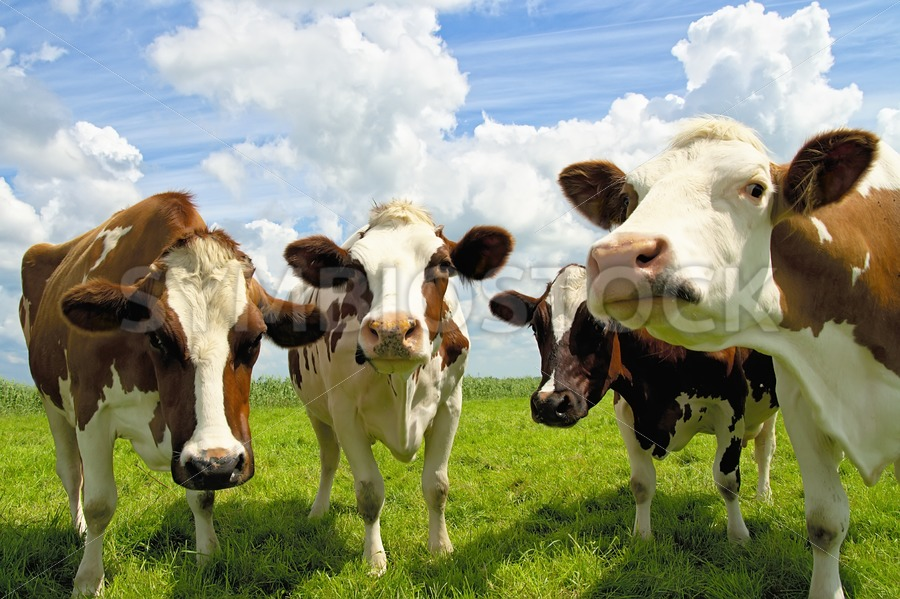 Four chatting cows - Jan Brons Stock Images