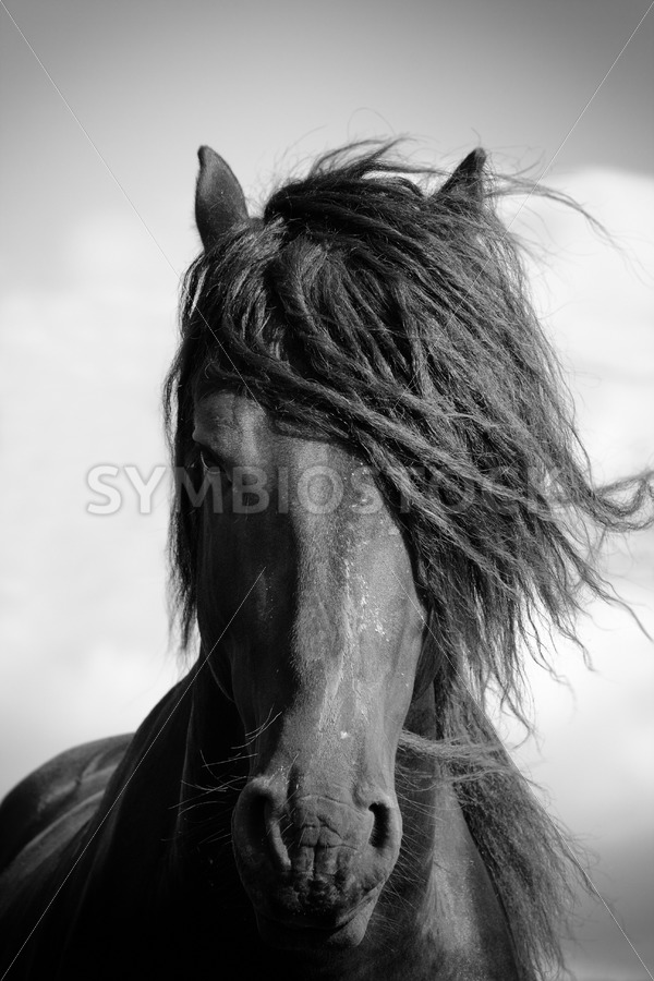 Friesian stallion in the wind. - Jan Brons Stock Images