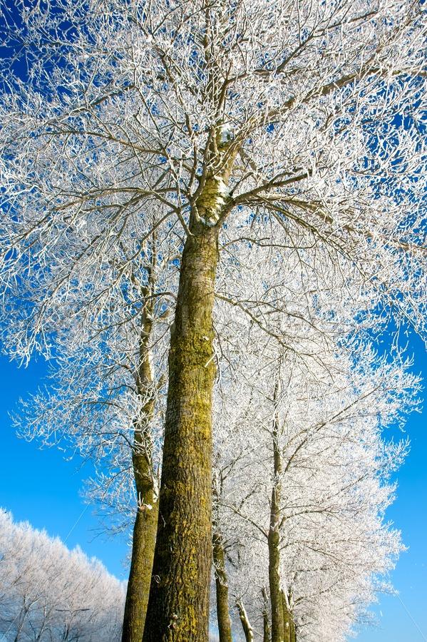 Frozen tree rows