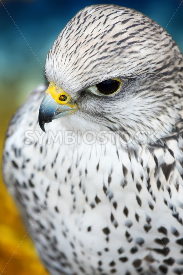 Gyrfalcon - Jan Brons Stock Images