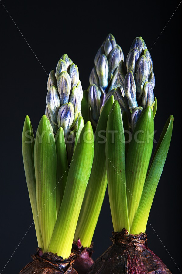 Purple Hyacinth ready for spring - Jan Brons Stock Images