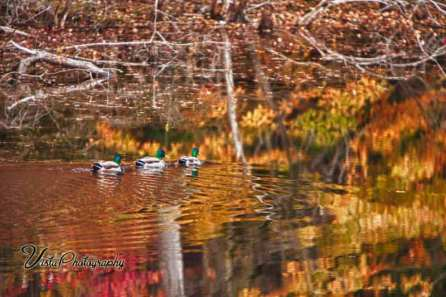 Three mallards swimming through reflection of autumn splendor