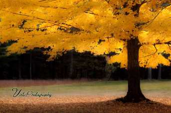 Large yellow maple tree at peak color