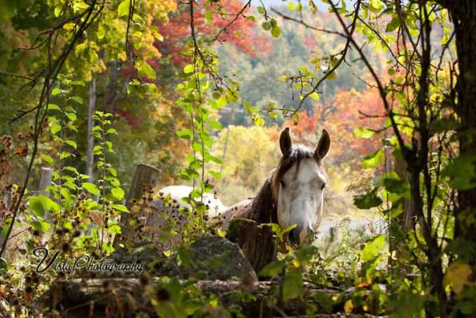White horse with fall color at fence looking for an apple