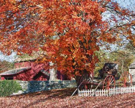 Ct farm with old buggy sitting under a maple tree with orange leaves. the buck board wagon with wooden wagon wheels sit under fall foliage in Connecticut