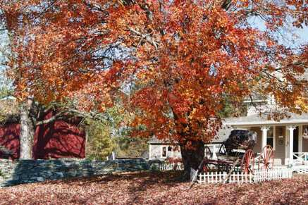 Ct farm with old buggy sitting under a maple tree with orange leaves.