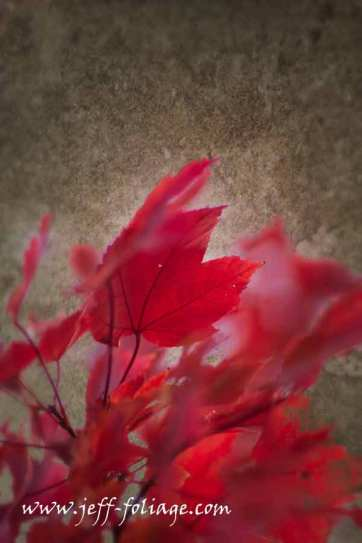 A glorious red maple on a texture of brown highlights the red maple leaves in a dreamy sort of abstract. It focuses your attention on how red the leaves are of the stripped maple.