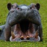 A Bloat of Hippopotamus