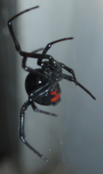Black Widow - Underside
