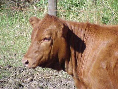 Red Heifer